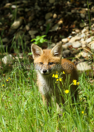 young fox