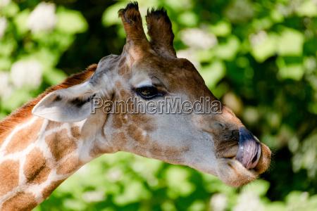 carnivorous giraffe in closeup