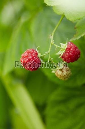 close up of fresh red rasberry