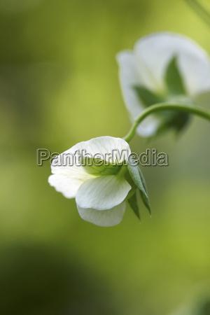 close up of sugar snap pea