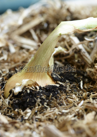 close up of spanish onion in