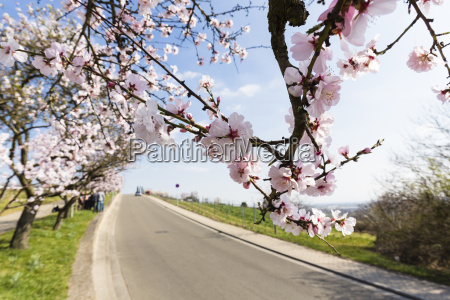 row of blooming almond trees lining