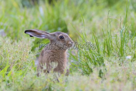european brown hare lepus europaeus hesse