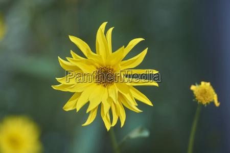 close up of jerusalem artichoke helianthus