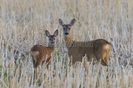 western roe deer capreolus capreolus doe