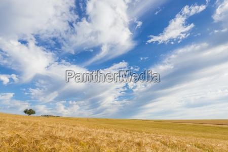 barley field in summer wenschdorf milenberg