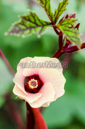 jamaica sorrel flower