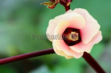 jamaica sorrel or hibiscus sabdariffa flower