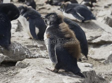 baby rockhopper penguin eudyptes chrysocome falkland