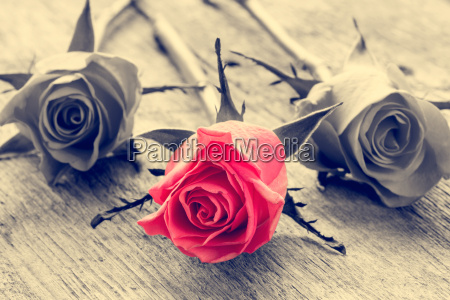 red rose on black and white