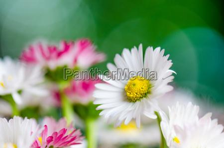 bouquet of small delicate daisy close