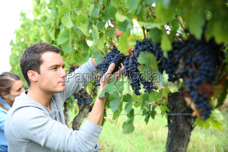 man in vineyard picking grapes