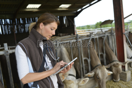 veterinarian checking on herds health in