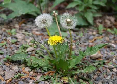 small retarded dandelion covered with gravel