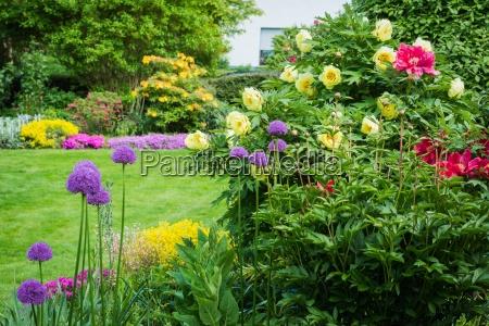 garden with peonies and allium