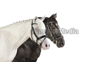 horseheads white collage