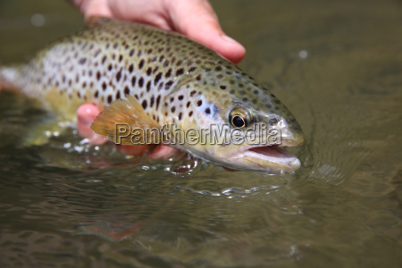closeup of brown trout caught by