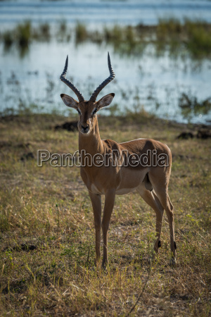 male impala with river behind facing