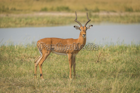 male impala on river bank facing