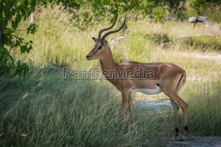 male impala standing in shade facing