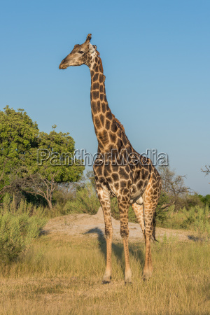 giraffe stands in grassy clearing facing