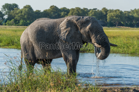 elephant drinking from river with dripping