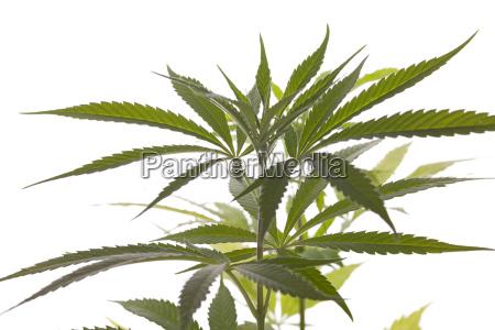cannabis marijuana plant with green leaves