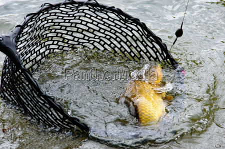 large hooked carp in a fishing