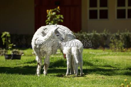 llama feeding her white puppy with
