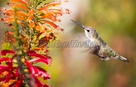 annas hummingbird calypte anna santa