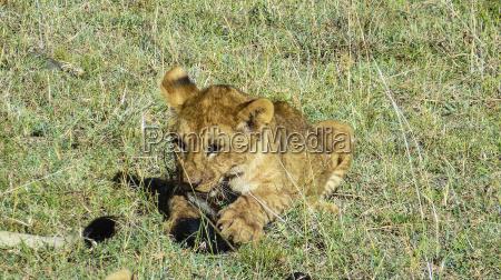 baby lions in masai mara national