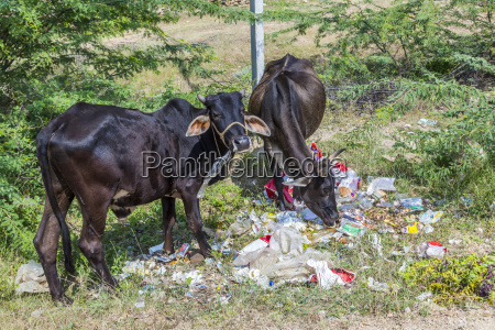 indian cows looking in plastic litter