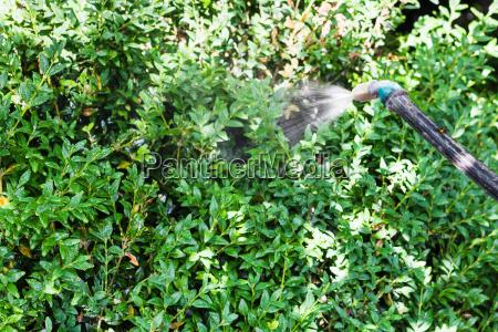 spraying insecticide on boxwood bushes