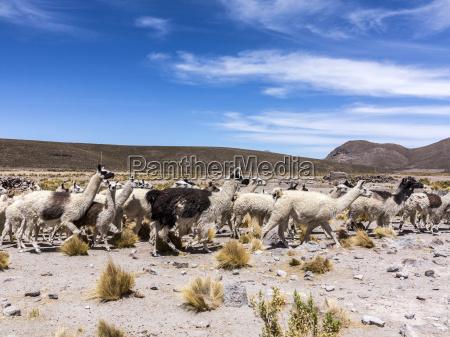 herd of running llamas in the