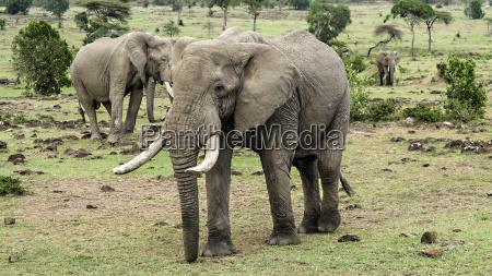 elephants in masai mara national park