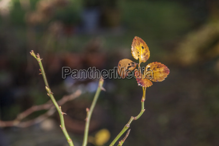 rose leaves in autumn colors