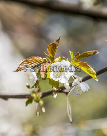blossoming of apple flowers in spring