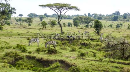 zebra in masai mara national park