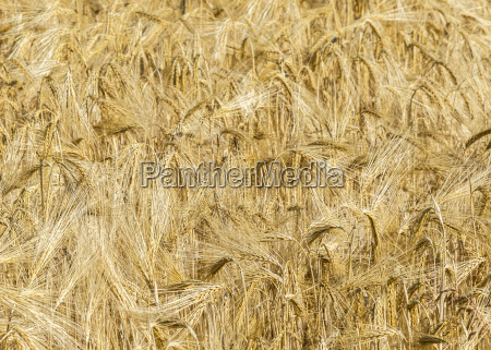 spikelets of wheat in a field