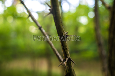 honey locust thorns