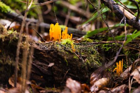 small stagshorn fungus calocera cornea