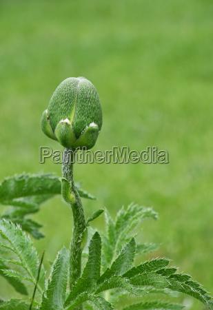 one poppy flower bud over green