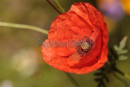 bright orange poppy papaver orientale