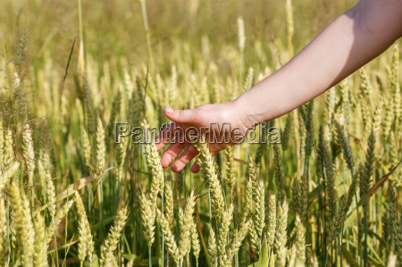 hand and ears of cereals