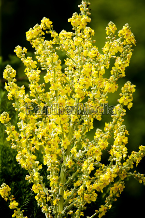 blossoming black mullein