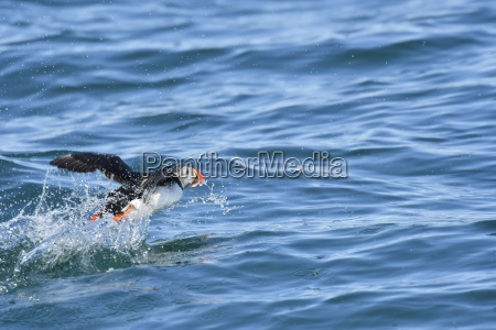 atlantic puffin flying over the sea