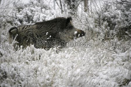 wild boar pig wild boar sus