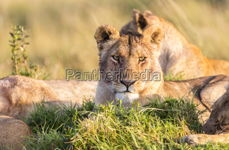 africa kenya wild lions in the