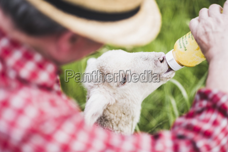 shepherd feeding lamb with milk bottle
