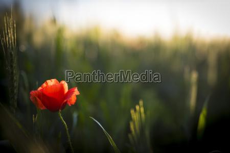 red poppy in a field of